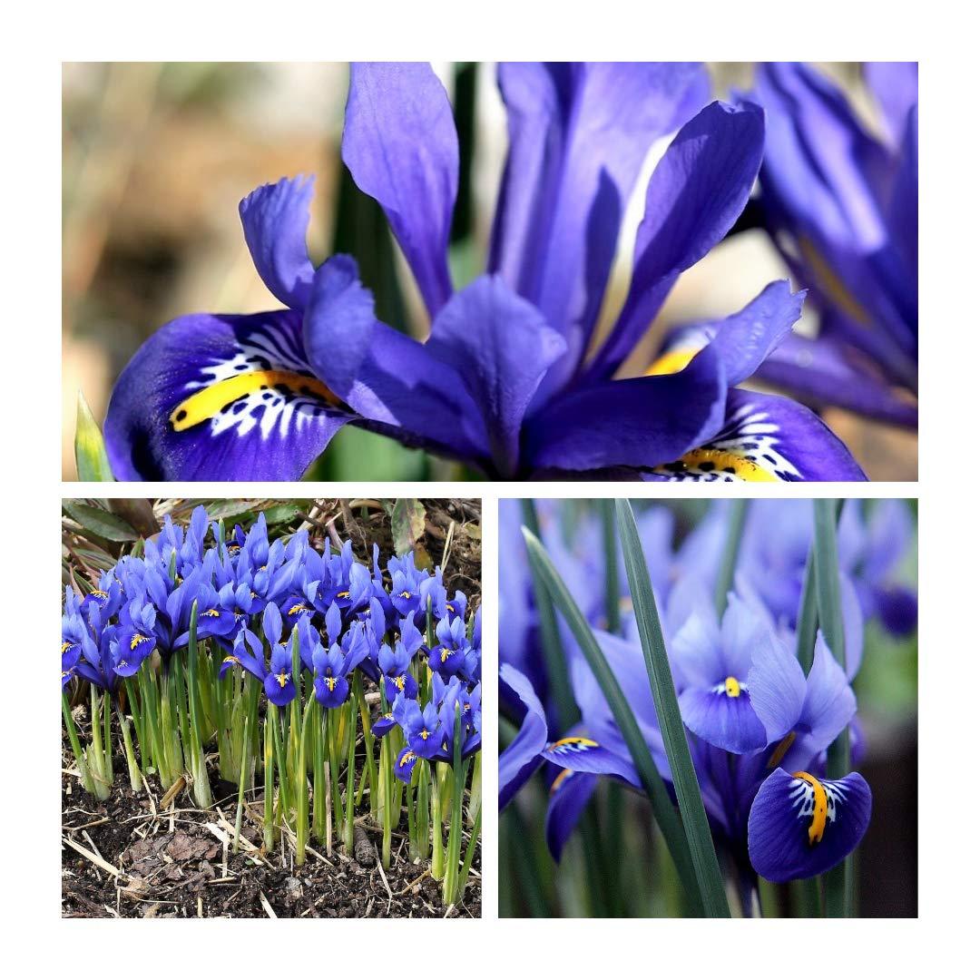 Humphreys Garden® Iris Reticulata Bulbs Size 5 up (100)