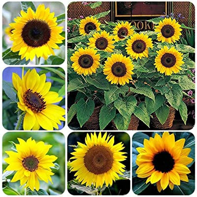 discountstore145 20pcs Sunflower Seeds, Seeds for Gardening Flowers/Vegetable, Natural Ornamental Planting, Easy Grow Tree Flower Planting Seeds Garden Potted Plants Deco : Garden & Outdoor