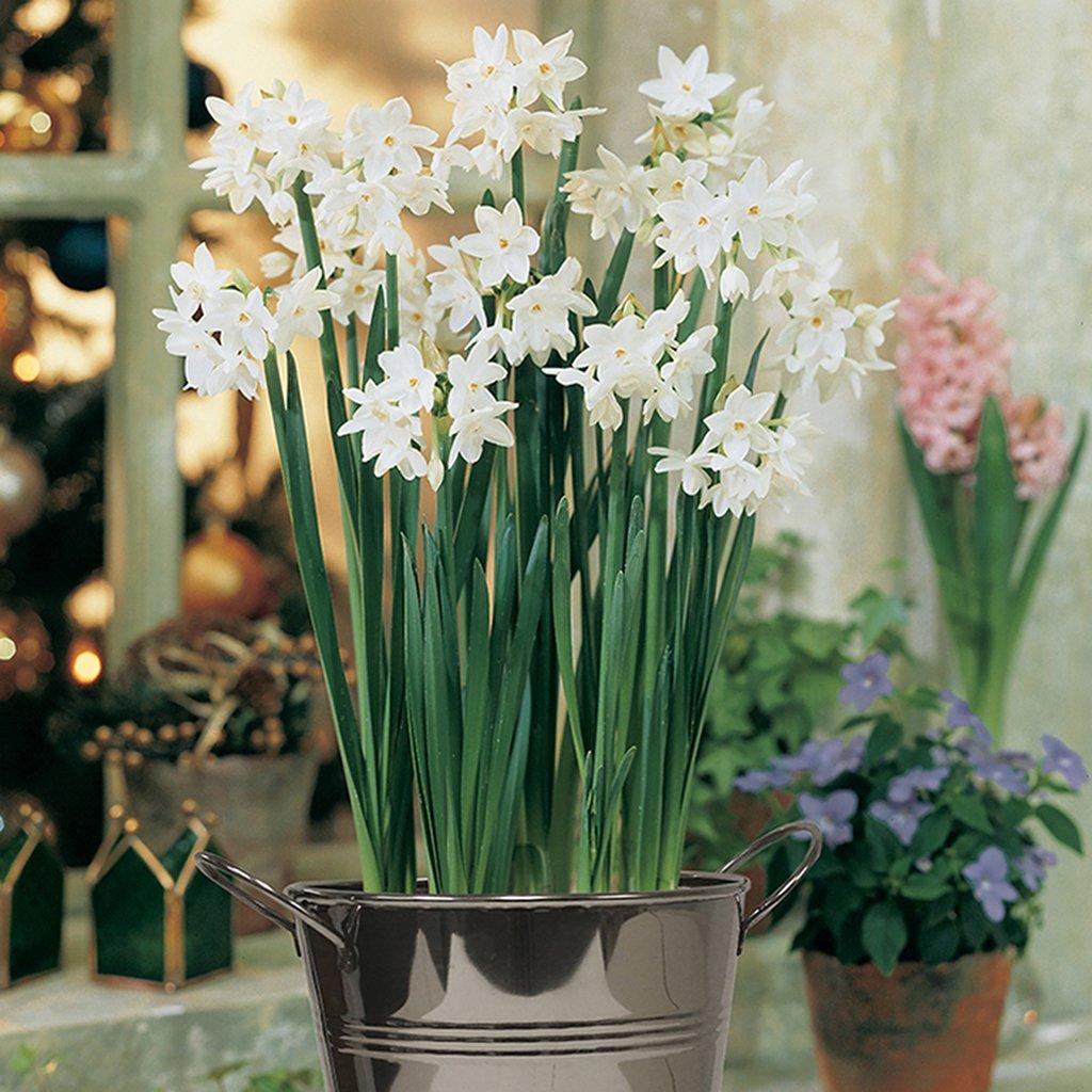 Van Zyverden Paperwhite Kit with Artisan Decorative Planter