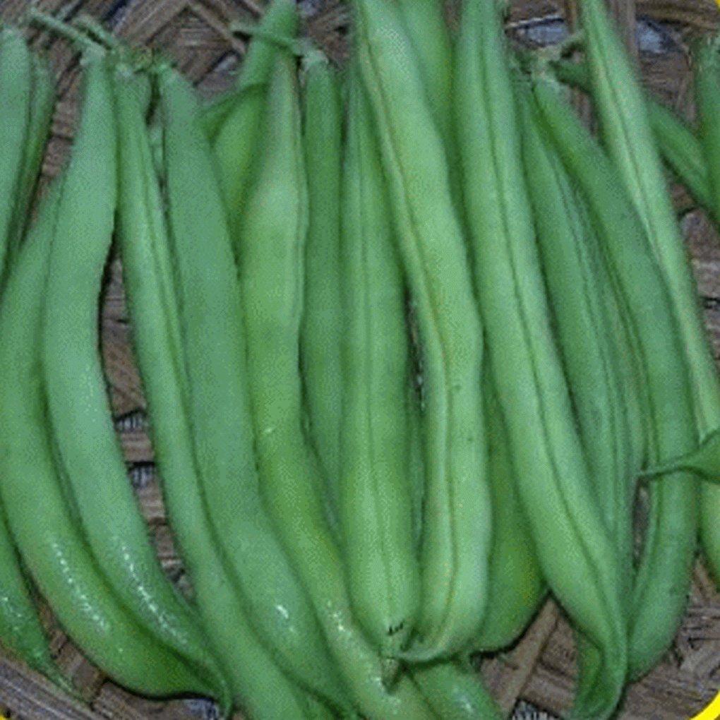 Everwilde Farms - 1 Lb Provider Green Bean Seeds - Gold Vault