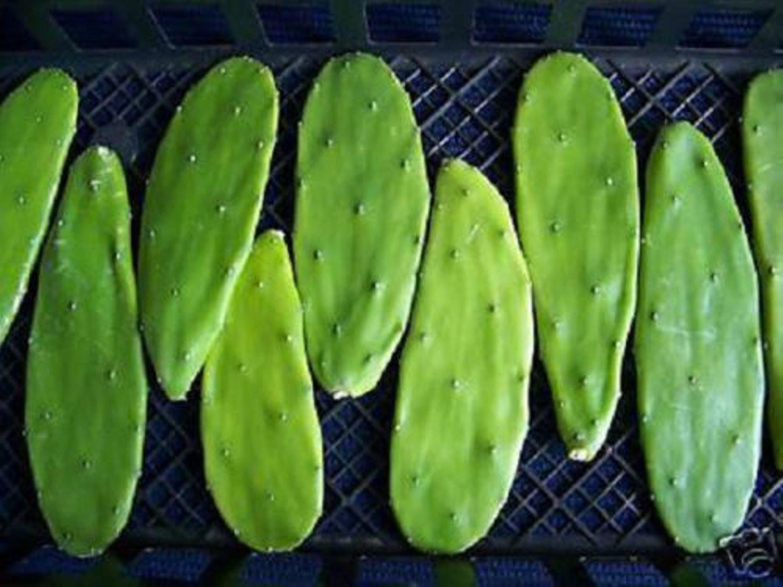 Opuntia grafting stock cactus grafted pereskiopsis tuna nopal cacti 20 cuttings
