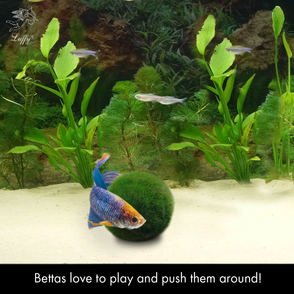 Galleon luffy betta balls live round shaped marimo for Toys for betta fish