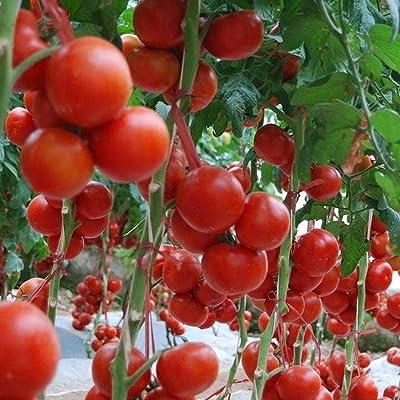 QiBest 100Pcs Garden Heirloom Vegetable Small Red Cherry Tomato Fresh Seeds Flowers : Garden & Outdoor