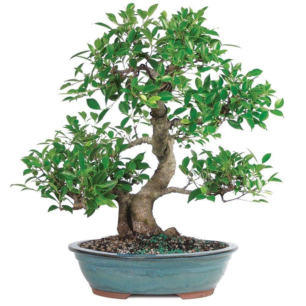 Golden Gate Ficus Bonsai Tropical Beauty Indoor Bonsai 20 Years Old Best Plant A6