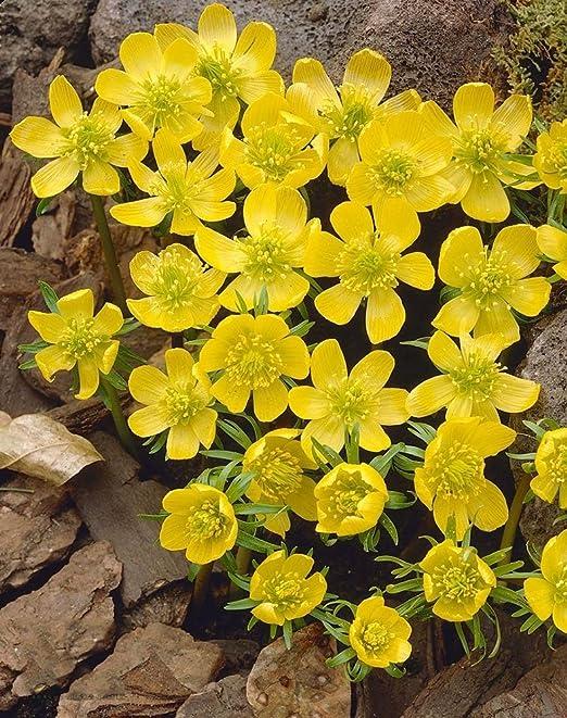 Eranthis cilicica - Winter aconite cilicica - 5 / Eranthis ...
