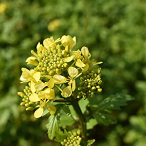 White Gold Mustard Seeds by Mighty Mustard - 1 Lb - Non-GMO, Open Pollinated Farm & Garden Cover Crop Seeds