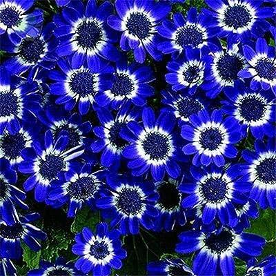 Youandmes Blue Daisy Seeds, Rare Flower Seeds Bonsai Planting Home Flower Garden Decor : Garden & Outdoor