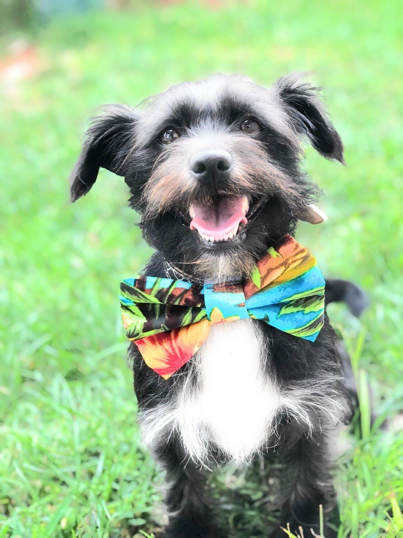 717d3a5d04a7 Amazon.com : Precious Paw Prints Boutique Aloha Dog + Cat Bow Tie (Large) :  Pet Supplies