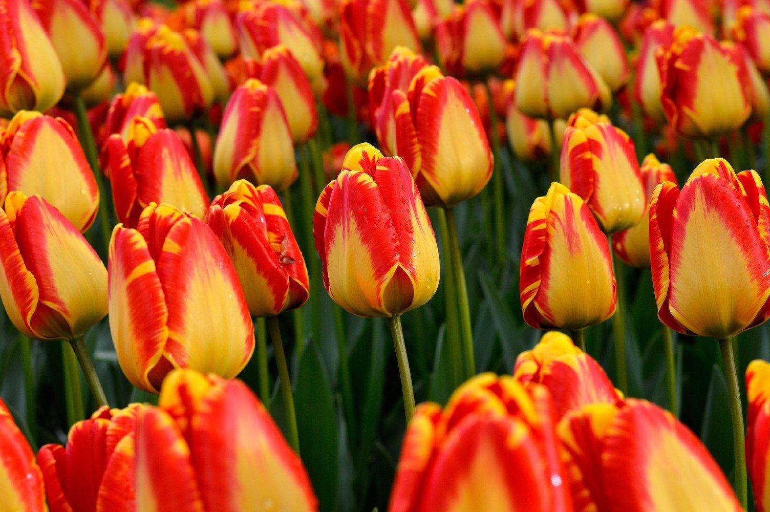 10 Banja Luka Tulip Bulbs Tulipa Quality Blooming Size 12+ cm Fall Planting by thecountrygardenshop