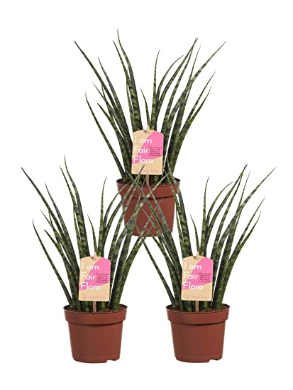 Amazon.com: BOTANICLY | 3 × Indoor Plant – Snake Plant ... on one on me plant, spanish dagger plant, male marijuana plant, minima plant, caledonia plant, jolly green giant plant, giant sunflower seeds to plant, linden plant, grand duke plant, paw paw plant, jacob's coat plant, green bamboo plant, red hot plant, daruma plant, polyploid marijuana plant, forever plant, sketch plant, schwag weed plant, parts of a marijuana plant, holly plant,
