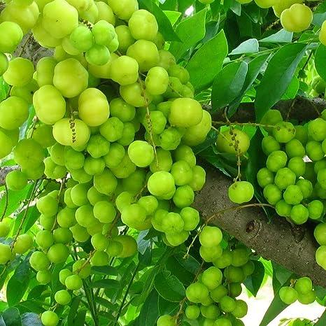 Plantsworld Amla Small Live Plant (Green): Amazon.in: Garden & Outdoors