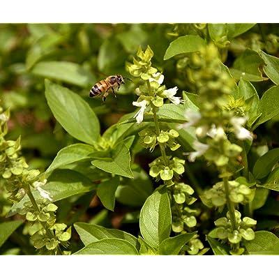 Toyensnow - Lime Basil Herb Seeds - Garden or Microgreens (4500 Seeds or 1/4 oz) : Garden & Outdoor