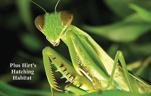Amazon Com Praying Mantis 10 Egg Cases 1 000 4 000 Babies