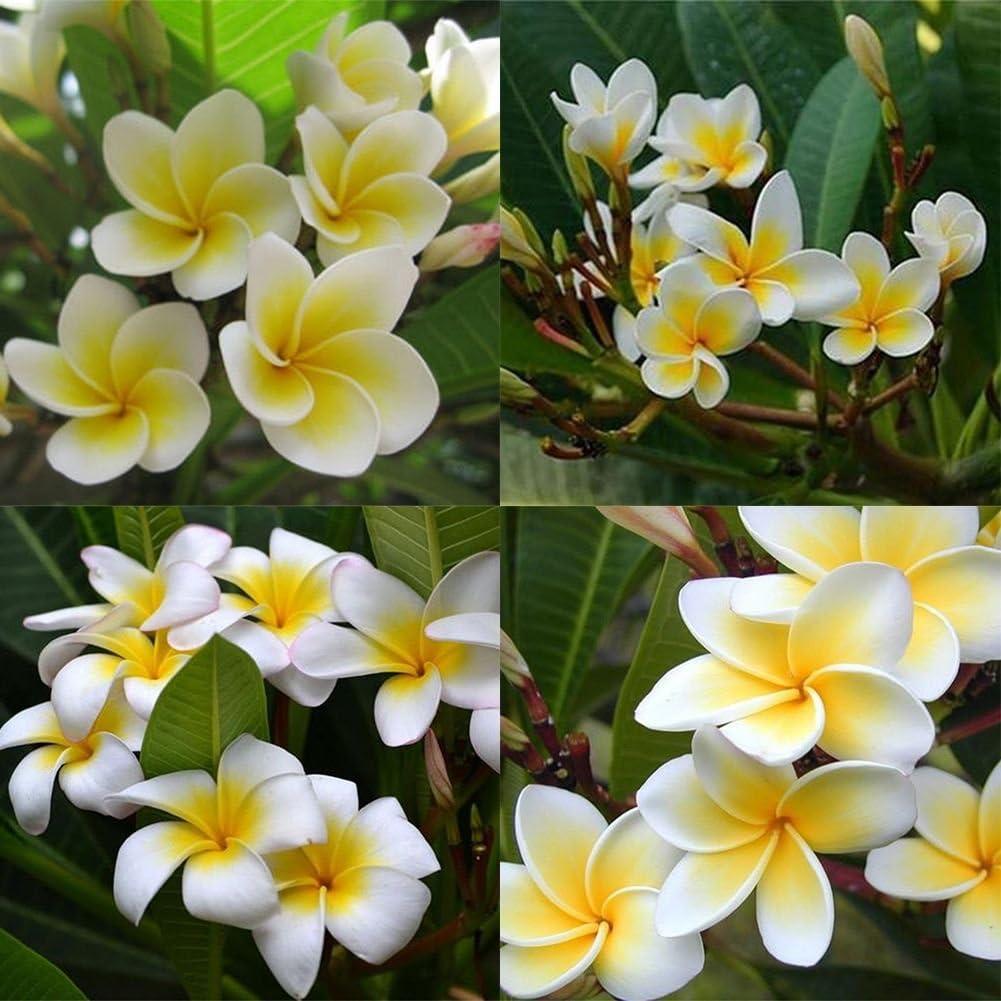 lamta1k 100Pcs / Bolsa Plumeria Rubra Frangipani Flor Lei Hawaiana Calidad de semilla y Altas tasas de Supervivencia Plantas de Jard¨ªn