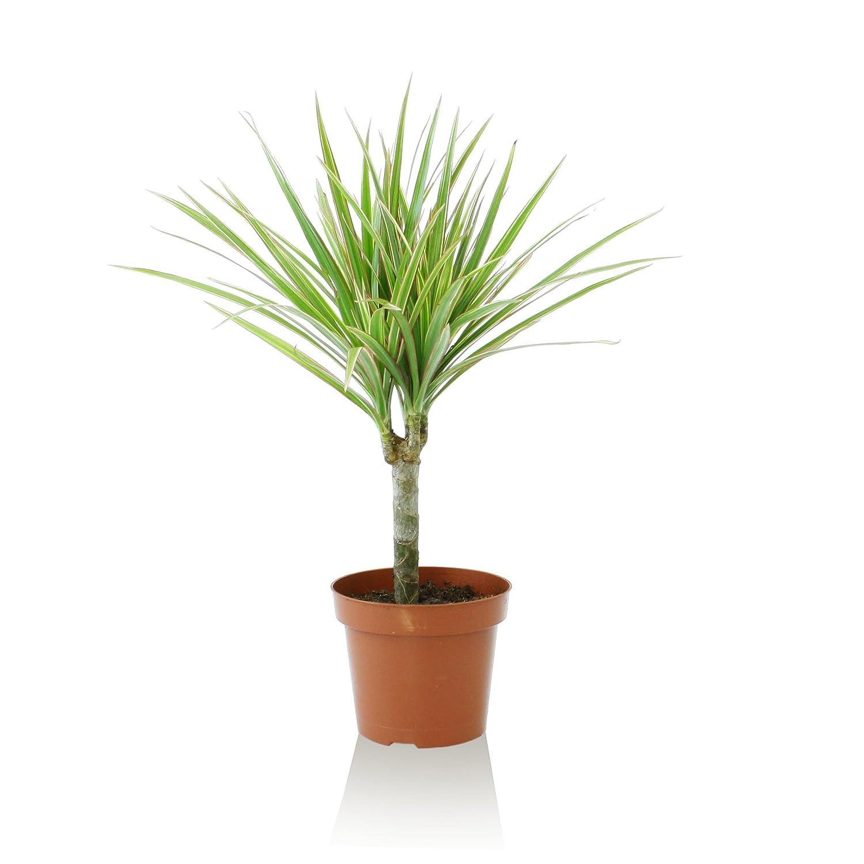 Indoor-Helden Drachenbaum Dracaena marginata Bicolor 12 cm Topf Zimmerpflanze Urban Jungle