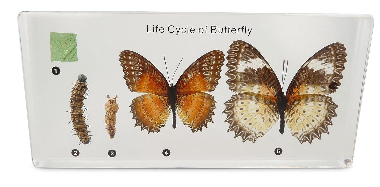 Tassidermia Butterfly Life-Cycle Development in acrilico Block