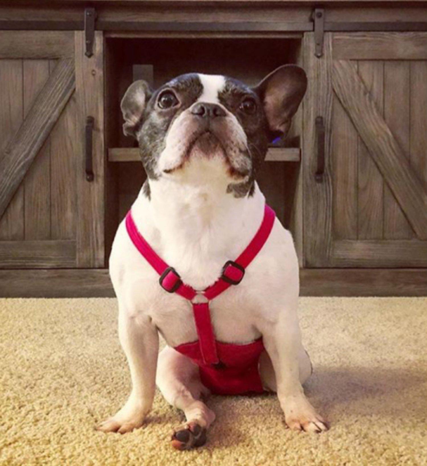 PeeKeeper Escape-Proof Dog Diaper, Medium-16 Walnut Flannel