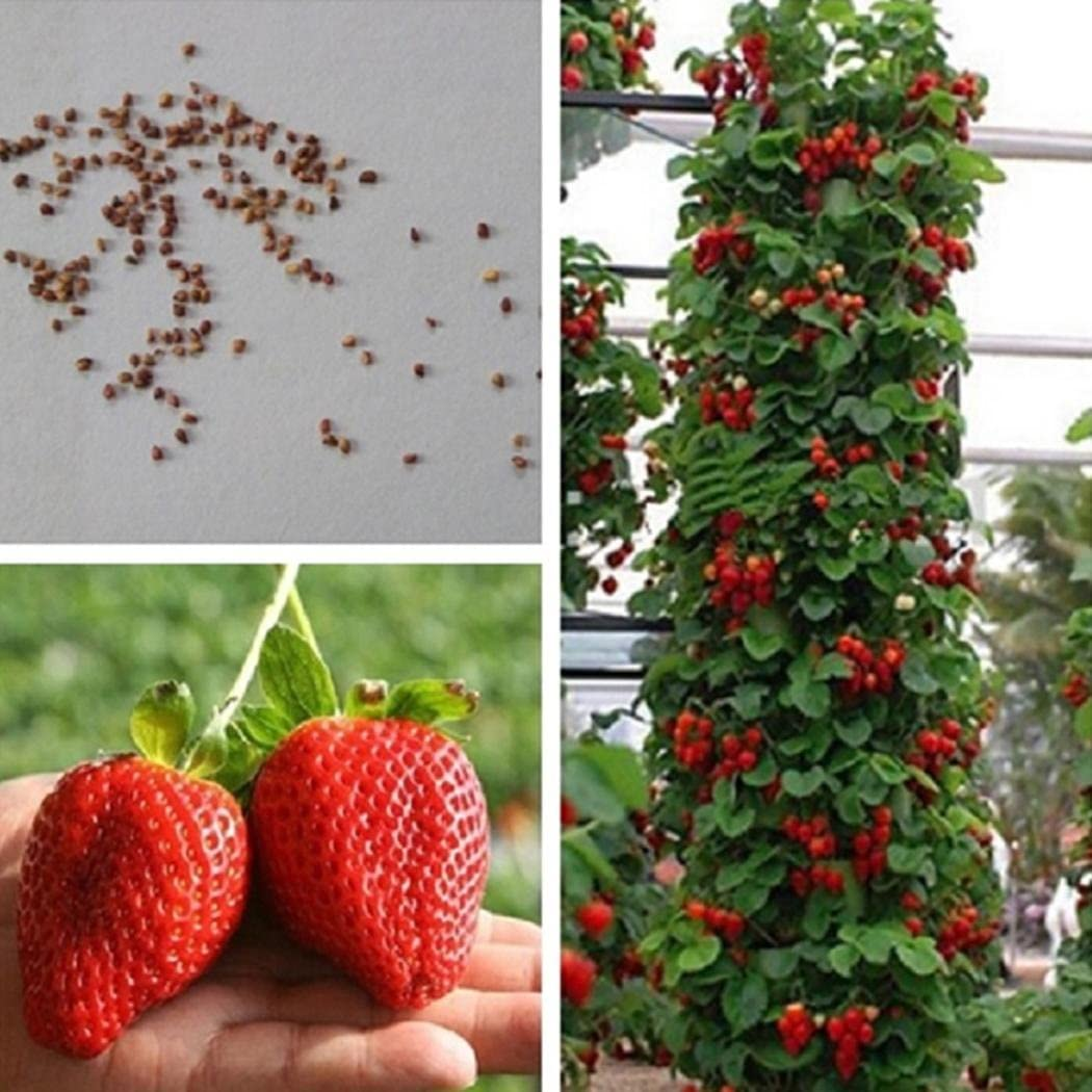 ADOLENB Seed House - Sugar Sweet Strawberry Seeds Frutas y verduras Strawberry Seeds Aromatic Rock Climbing Strawberry para jardín Balcón/Patio