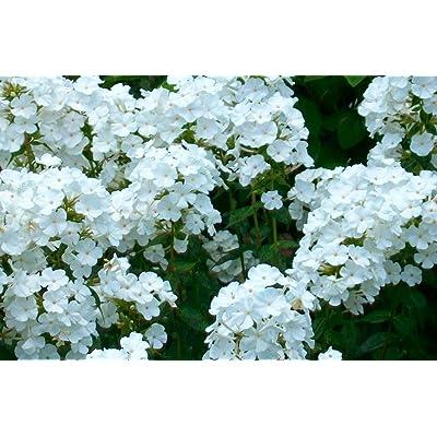 1 Phlox paniculata 'David' Summer Phlox - WHITE (Plant/ Root) Now Shipping : Garden & Outdoor