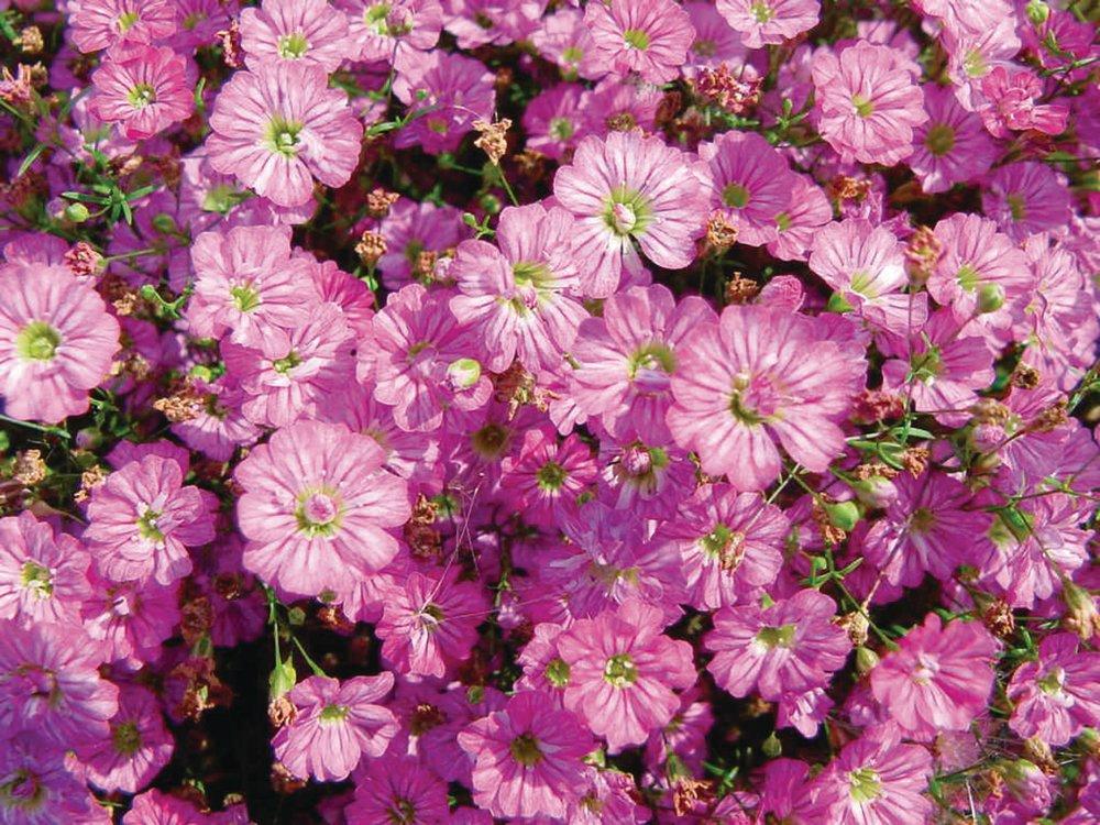 Gespensterpflanze,Saatgut,Aristolochia littoralis,Blume,Chrestensen,SP