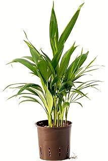 Berühmt Grünlilie 20-25 cm in Hydrokultur 11/9er Kulturtopf pflegeleichte #TH_41