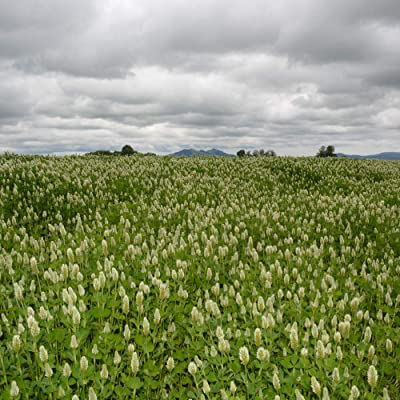 Outsidepride White Cloud Crimson Clover Cover Crop & Forage Seed- 5 LBS : Garden & Outdoor