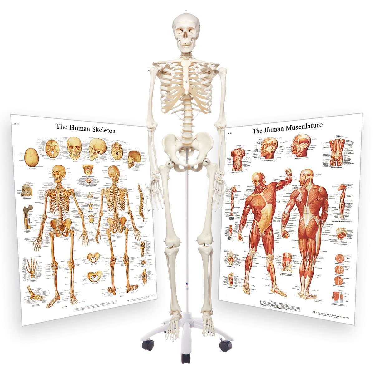 3b Scientific 3009200 Standard Skeleton With Skeletal System And