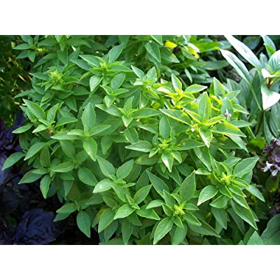 Spicy Globe Basil - 50 Seeds : Garden & Outdoor