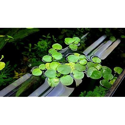 30+ plants Frogbit Floating Plant (Limnobium Laevigatum) : Garden & Outdoor