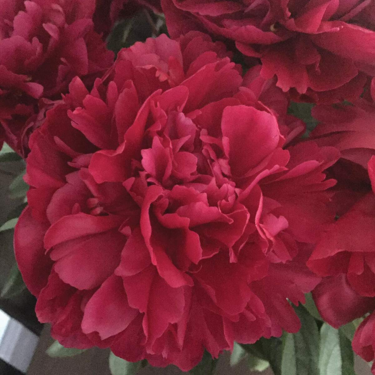 Burpee Perennial Peony 'Lady in Red' - 1 Bare Root Plant