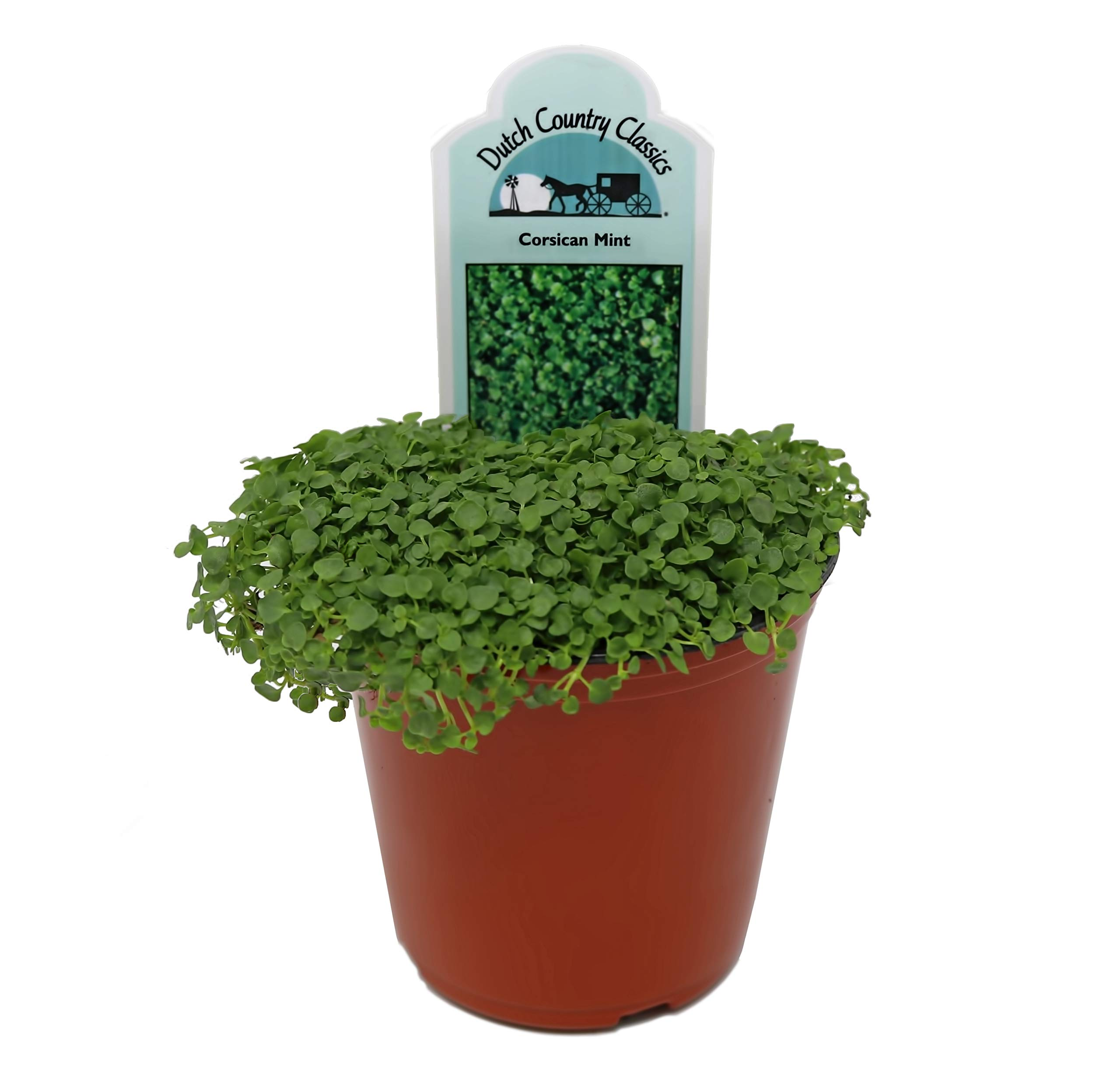 Mint 'Corsican' Herb Plant (Pack of 12) by Dutch Country Classics (Image #1)