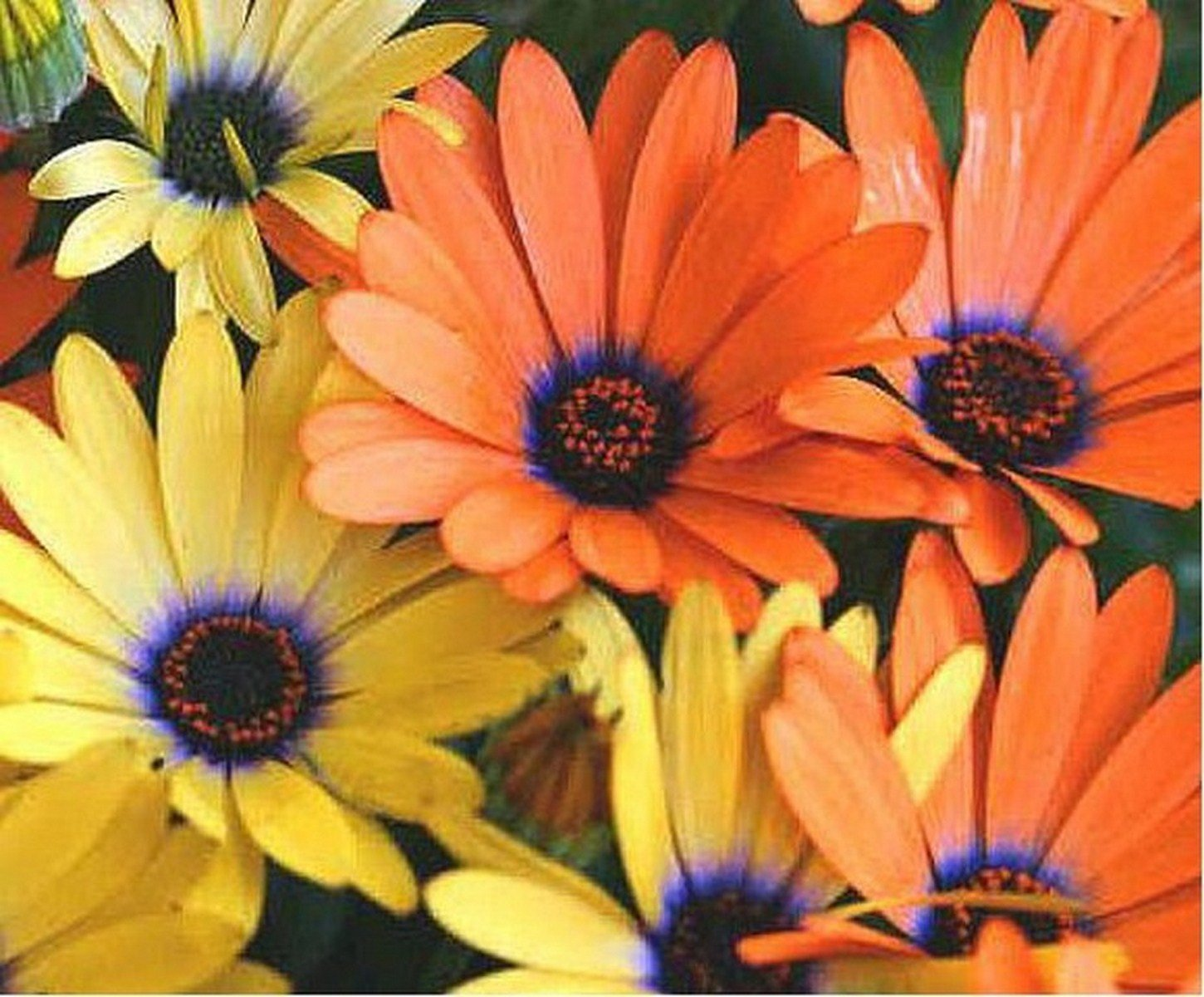 African Daisy Mix- 100 seeds