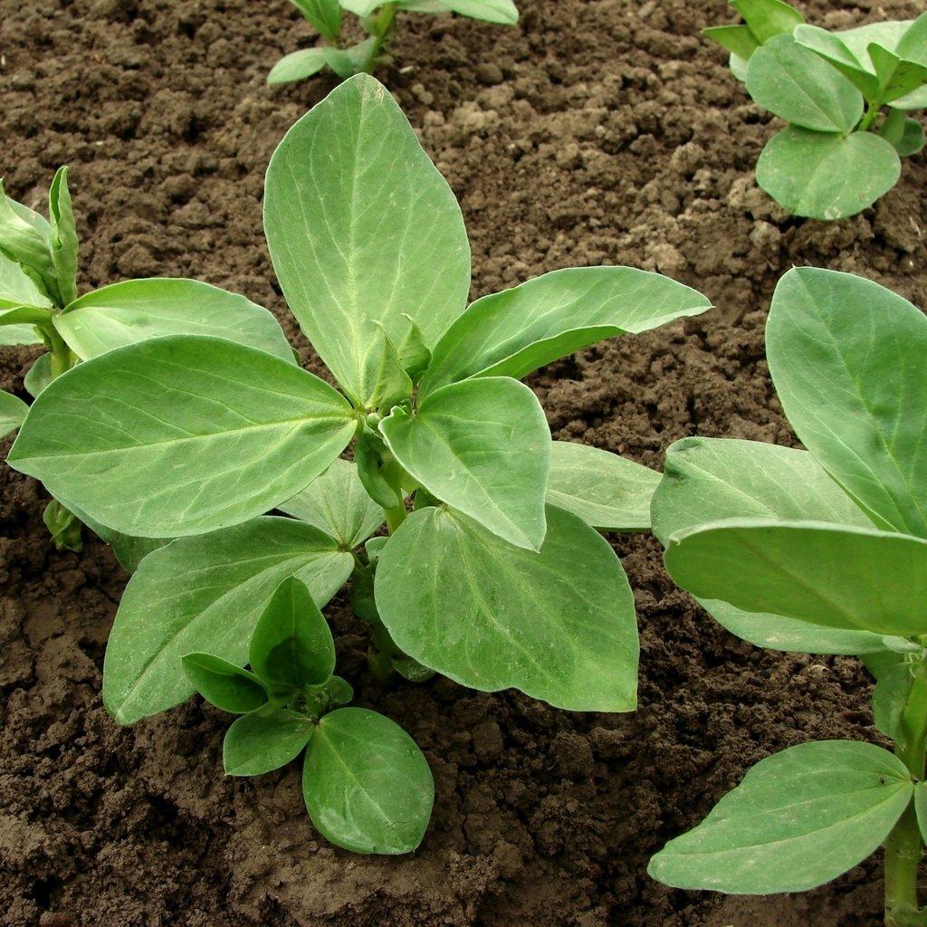 GROSEEDS - Green Manure Seeds, Field Bean, GRM-03, 250 grams.