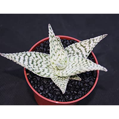"Toyensnow - Aloe cv Delta Lights Exotic Hybrid Rare White Color Succulent Agave Plant (4"" Pot) : Garden & Outdoor"