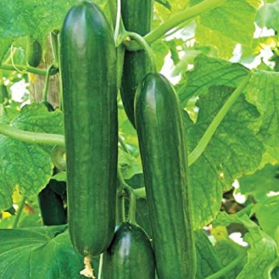 220+ Seeds Cucumber Beit Alpha (1/4 oz) - Many Sizes Persian Flavor : Garden & Outdoor