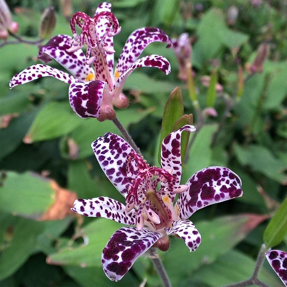 Raspberry mousee toad lily hardy japanese lily 1pkg ebay product description raspberry mousse toad lily izmirmasajfo