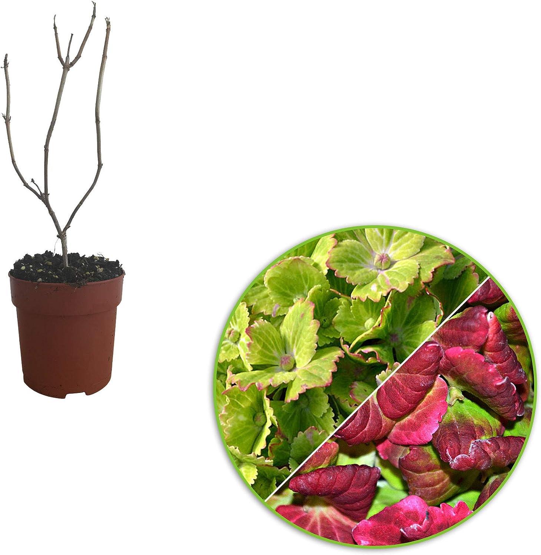 Hydrangea Macrophylla vert-rose Pot /Ø 12cm Arbuste fleuri Hauteur 15-20cm Hortensia Rembrandt /«Vibrant Verde/»