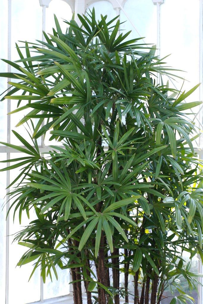 10 semințe Mill The Palm Tree Wide -Laf Bush SE / ñora Rhapis Excessa Indoor Plant