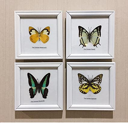 Amazon.com: REAL MIXES 4 BUTTERFLIES DISPLAY INSECT TAXIDERMY IN ...