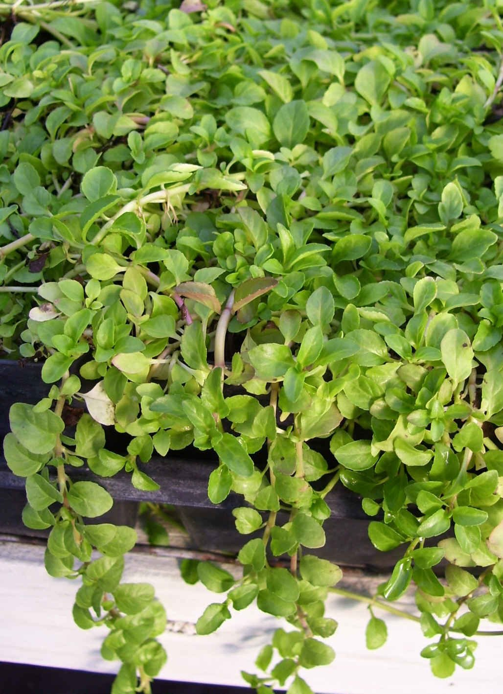 Amazoncom Pennyroyal Mint Mentha Natural MosquitoInsect