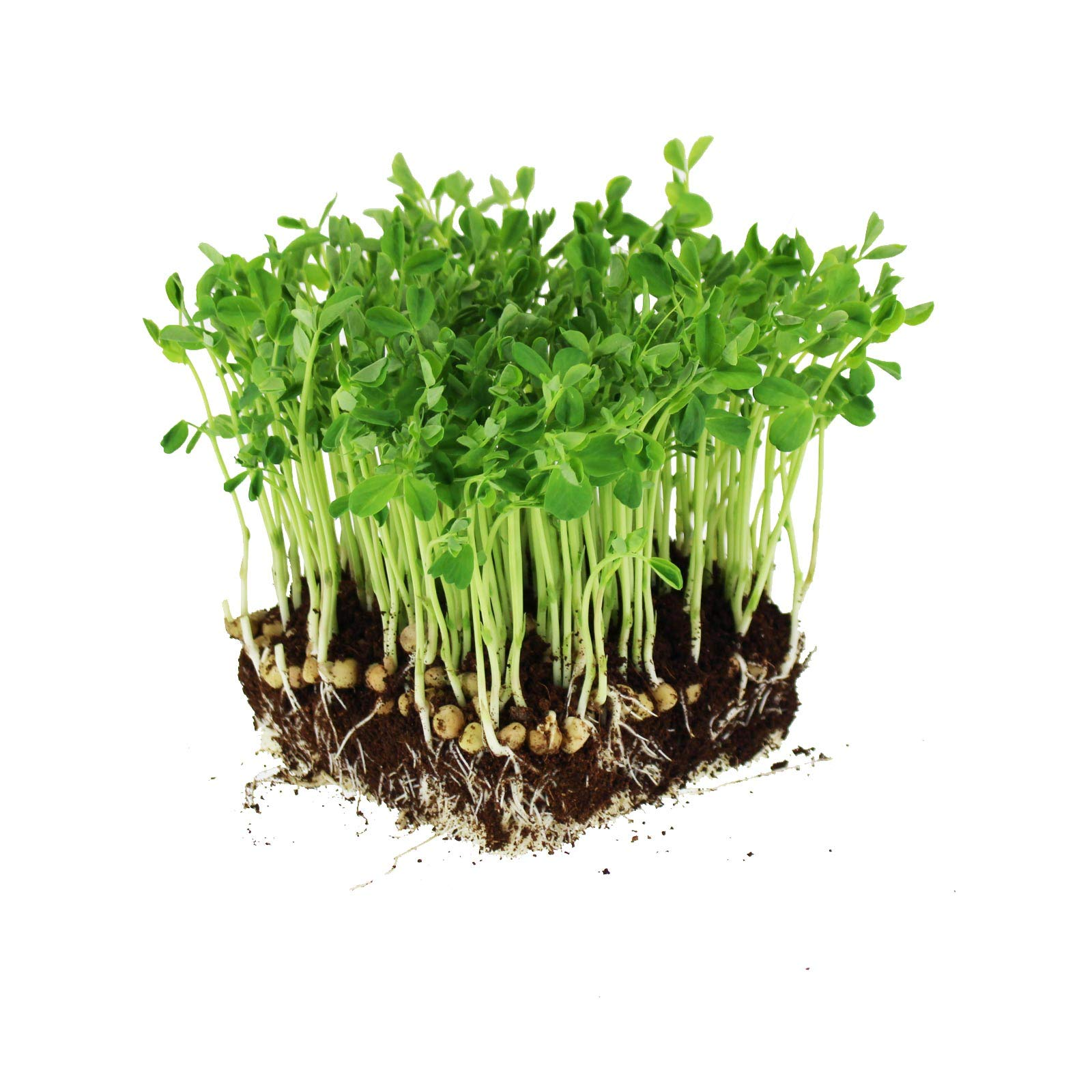 Dun Pea Seeds: 25 Lb - Bulk, Non-GMO Peas Sprouting Seeds for Vegetable Gardening, Cover Crop, Micro Green Pea Shoots by Mountain Valley Seed Company
