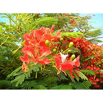 WOR 5 Pcs Seeds Delonix Regia Royal Poinciana Tree - 283RK : Garden & Outdoor