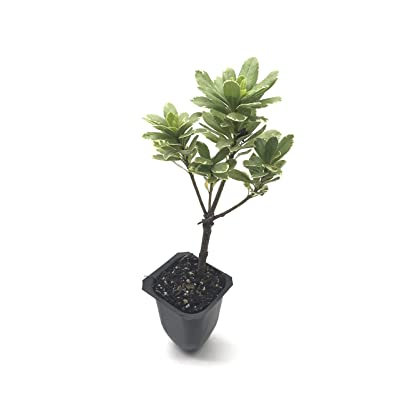 Variegated Pittosporum - 10 Live 2 Inch Plants - Pittosporum Tobria 'Variegatum' - Border Accent Hedge Plant : Garden & Outdoor