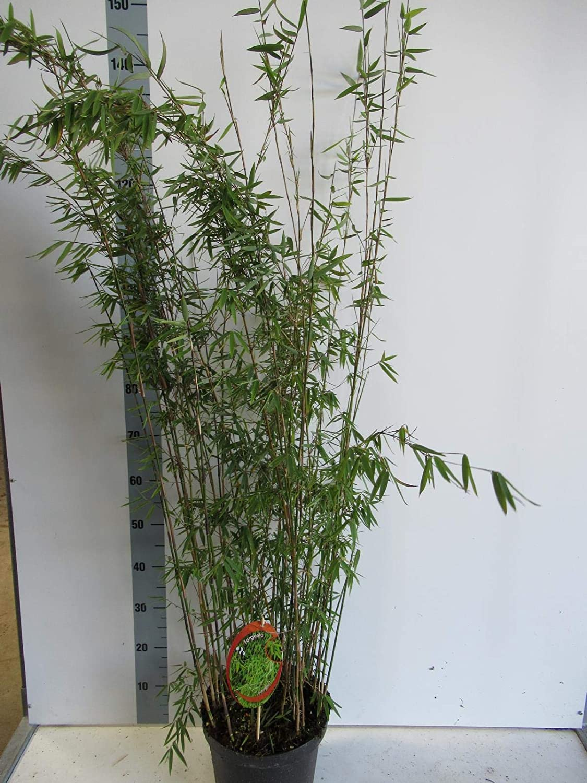 Fargesia nitida Great Wall C1-1 Liter Blue Fountain Bambus