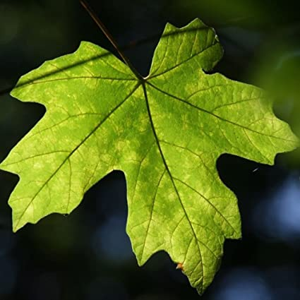 Amazoncom New Bigleaf Maple Acer Macrophyllum 15 Seeds Garden