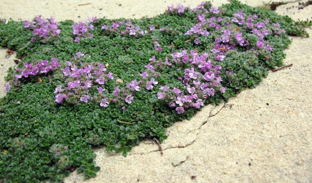 Elfin Thyme Plant - Thymus Minus - World's Smallest Thyme - Gallon Pot