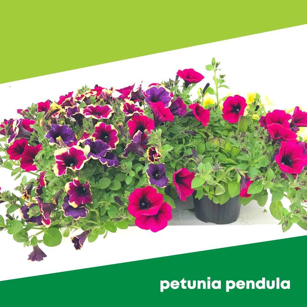 Petunia Pendula 6 PIANTE - Fiori NON commestibili Azienda agricola Carmazzi