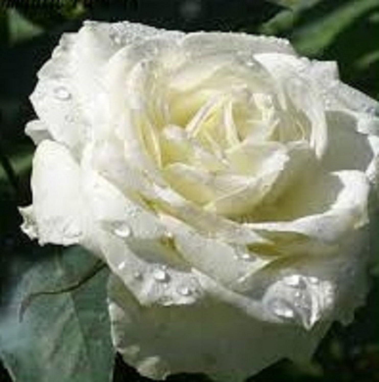 Plentree Belle White Rosa 80 Seeds -Buy 4 articoli Generic