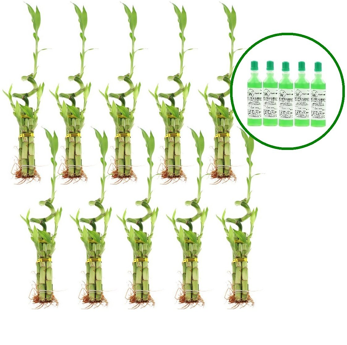 NW Wholesaler - 5 Stalk with Spiral Lucky Bamboo Arrangement with 5 Free Bottles of Lucky Bamboo Fertilizer (10)