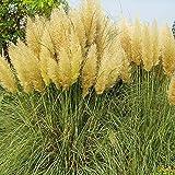 Opla3Ofx 300Pcs Pampas Grass Seeds,Open-Pollinated, Wild Flower Seeds Planting, Bees, Humming Birds, Butterflies, Pollinators,Office Garden Decor Yellow Pampas Seeds